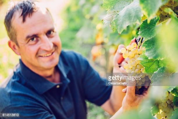 Hanpicking Ripe White Grapes