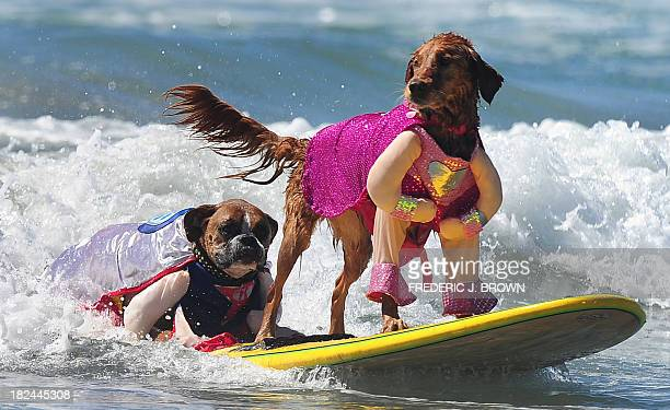 Hanzo and Kalani surf in tandem during the 5th Annual Surf Dog competition at Huntington Beach California on September 29 2013 AFP PHOTO/Frederic J...