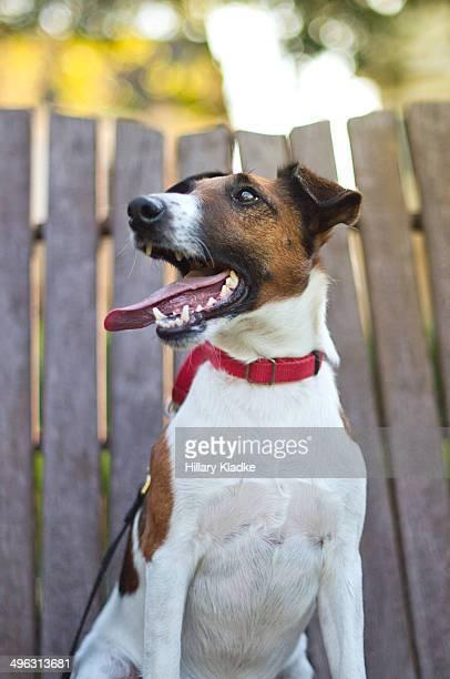 Happiest Smooth Fox Terrier
