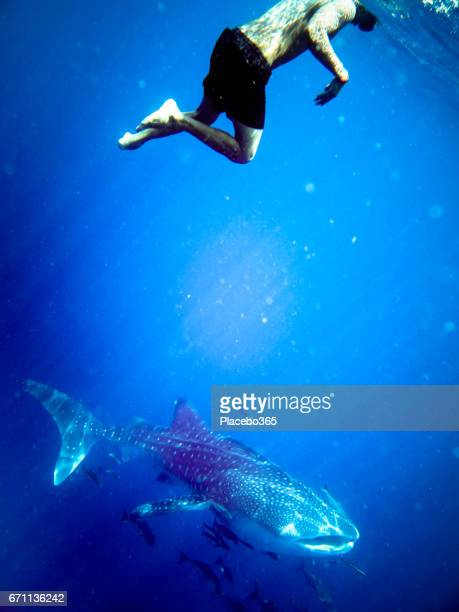 Happiness in Nature: Man enjoying nature swimming with an Endangered Species Pelagic Whale Shark (Rhincodon types).  The location is Ko Haa Islands, Krabi, Andaman Sea, Thailand.