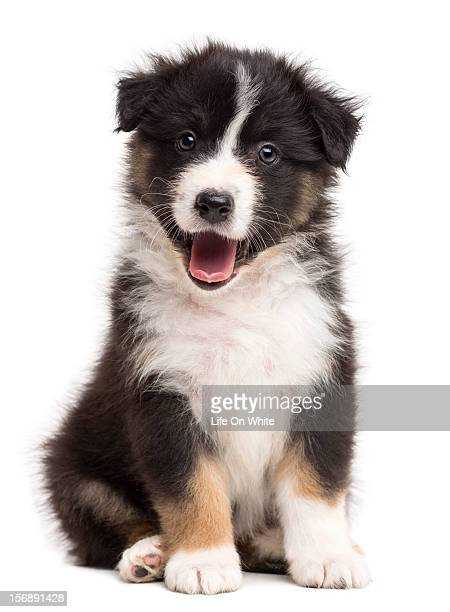 Happy Australian Shepherd puppy sitting