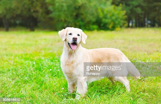Happy beautiful Golden Retriever dog on grass : Stock Photo