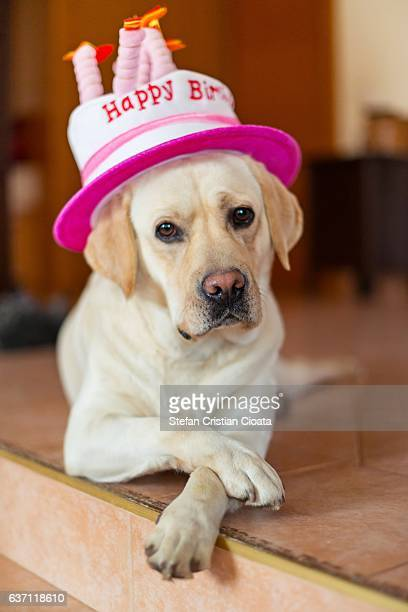 Happy Birthday Labrador Stock Photos And Pictures Getty