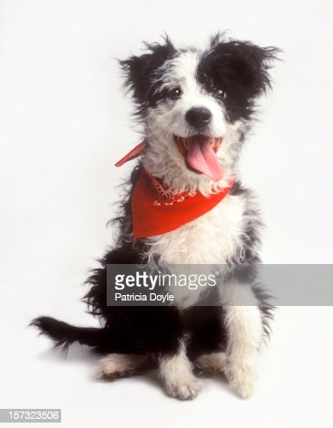 A happy Border Collie, eager to please : Stock Photo