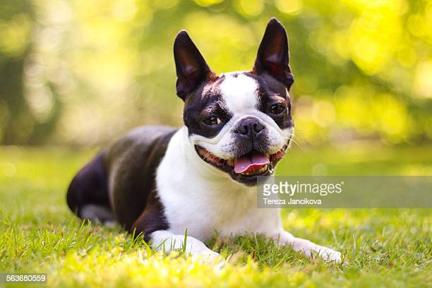 Happy boston terrier dog lying in grass