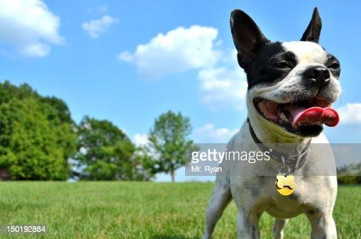 Happy Boston Terrier dog