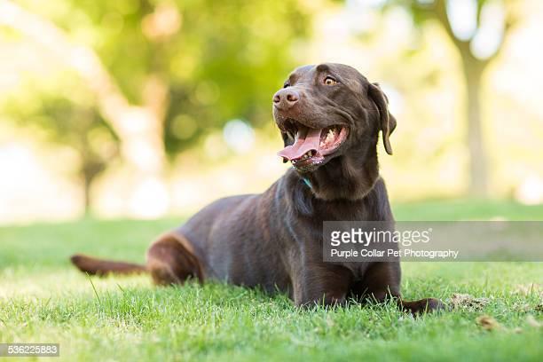 Happy Chocolate Labrador Retriever Dog Outdoors