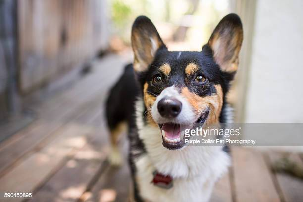 Happy corgi dog outdoors