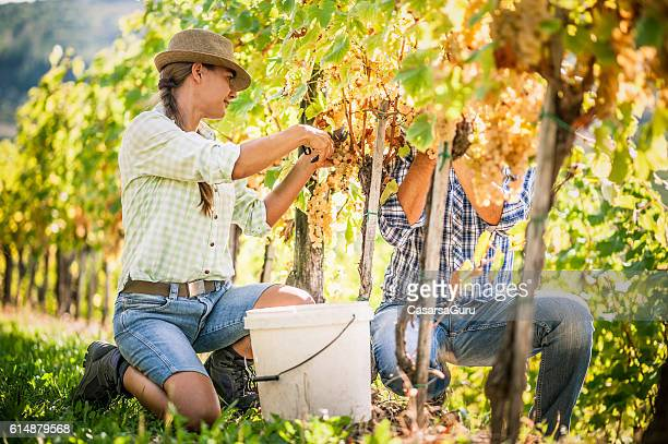 Happy Couple Harvesting Grapes in the Vineyard
