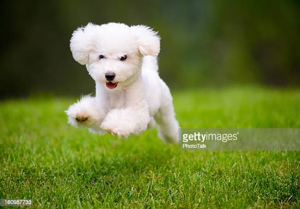 Happy Dog Fast Running On Lawn