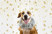Portrait of staffordshire terrier with new year tinsel decoration around neck