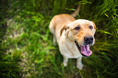 Portrait of happy yellow labrador on grass