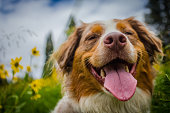 Australian Shepherd showing her happiness during springtime in Colorado.