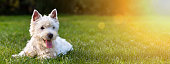 Website banner of a happy dog puppy as lying in the grass