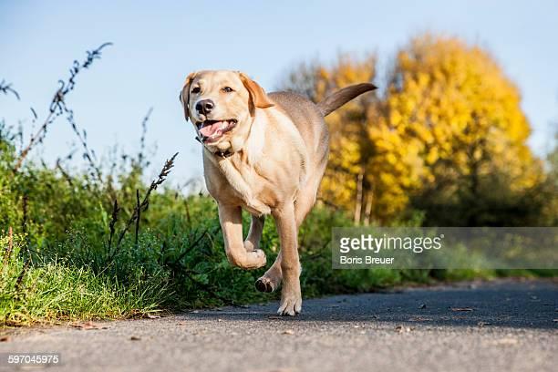 Happy dog running along sidewalk, autumn