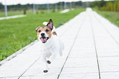 Jack Russell Terrier playing off leash