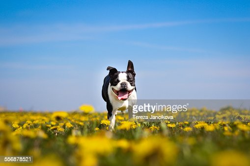 Happy dog running over dandelion field