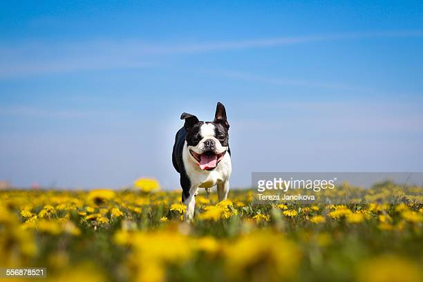 Happy dog running over dandelion field