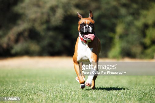 Happy Dog Running with Tongue Out : Stock Photo