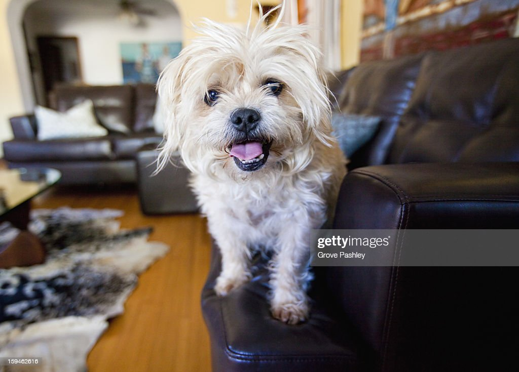 Happy dog standing couch : Stock Photo