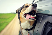 A happy German Shepherd mix breed dog is smiling with his tounge hanging out and his eyes closed as he sticks his head out the family car window while drving down the road.