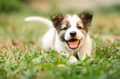 Happy Doggy Fast Running On Grass.