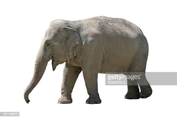 Heureux éléphant isolé sur blanc