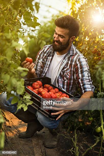 Happy farm worker collecting tomatoes in polyethylene tunnel.