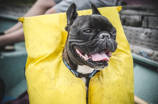 Happy French Bulldog Wearing Life Jacket