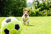 Jack Russell Terrier dog playing football