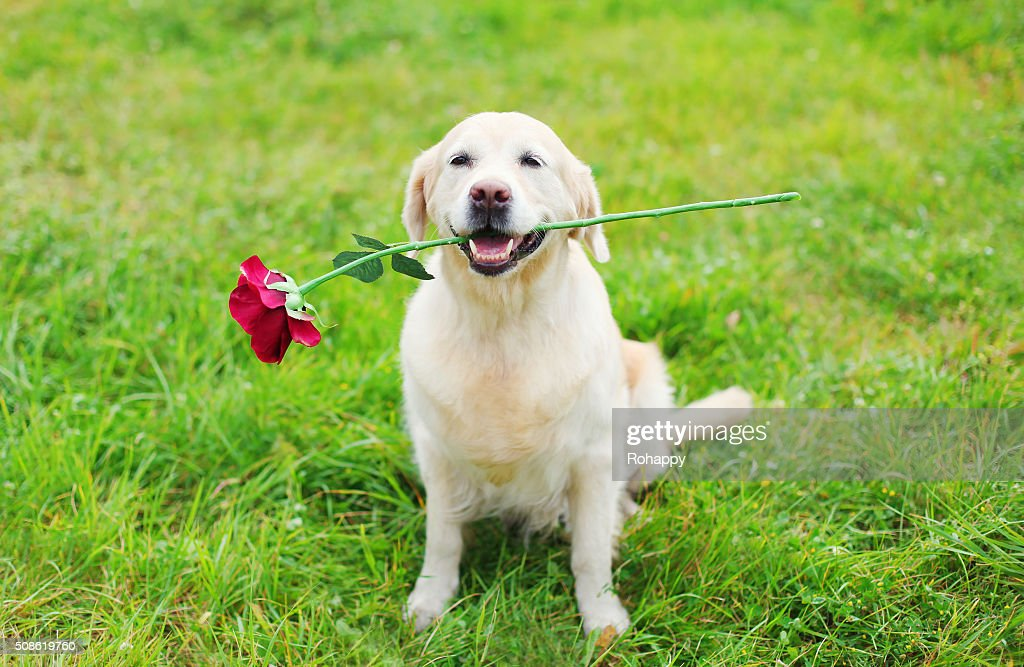 Happy Golden Retriever dog holding red flower in teeth : Stock Photo