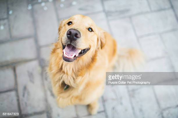 Happy Golden Retriever Dog Looking Up