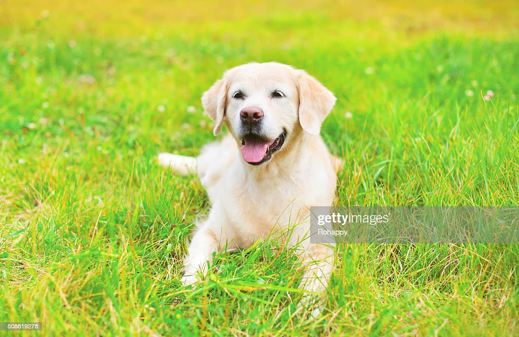 Happy Golden Retriever dog lying on grass in summer day : Stock Photo