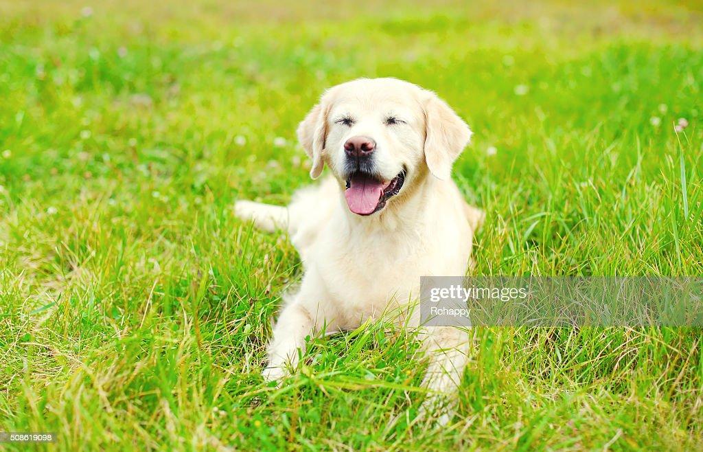 Happy Golden Retriever dog lying resting on grass : Stock Photo
