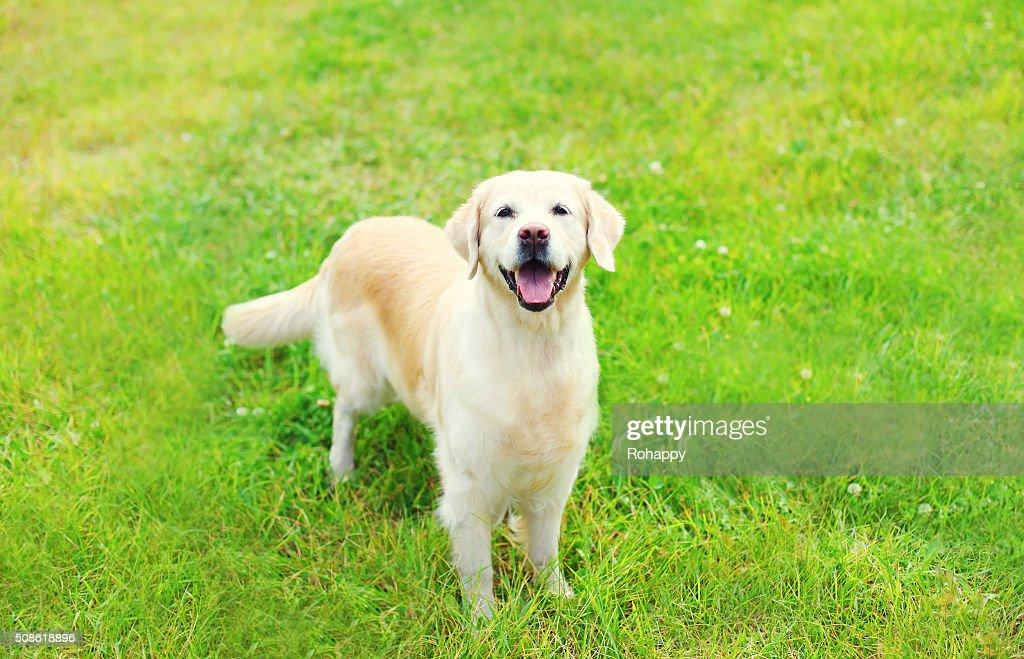 Happy Golden Retriever dog on grass in summer day : Stock Photo