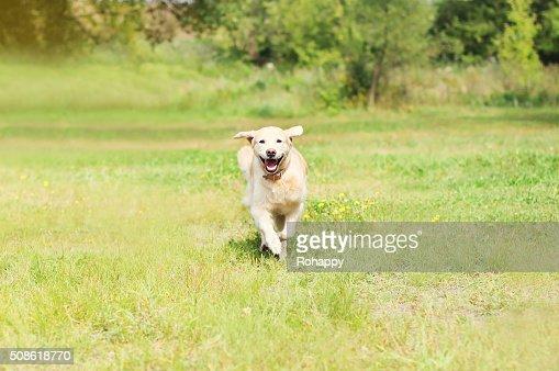 Happy Golden Retriever dog running on grass in summer day : Stock Photo