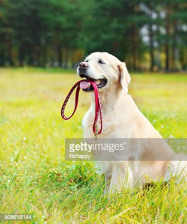 Happy Golden Retriever dog with leash sitting on grass : Stock Photo
