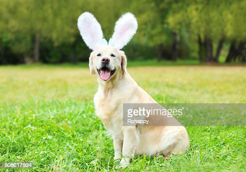 Happy Golden Retriever dog with rabbit ears sitting on grass : Stock Photo