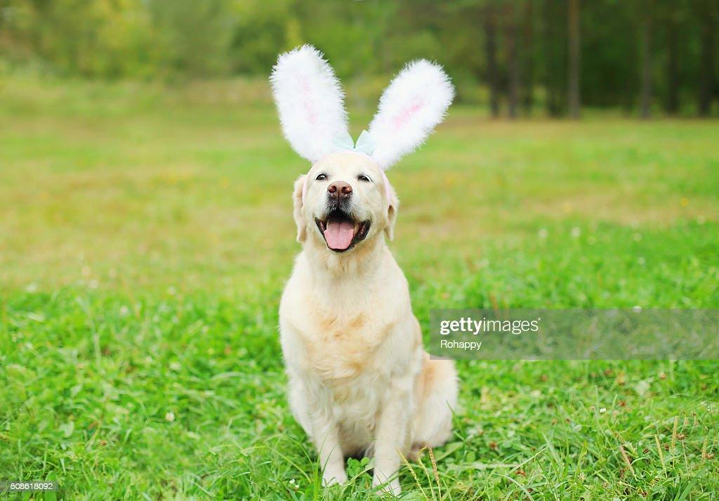 Happy Golden Retriever dog with rabbit ears sitting on grass : Stock Photo