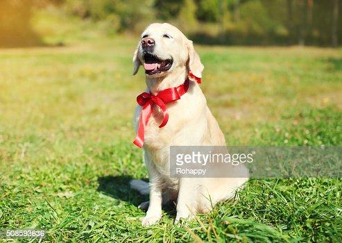 Di D'oro Retriever cane con fiocco rosso seduto sull'erba : Foto stock