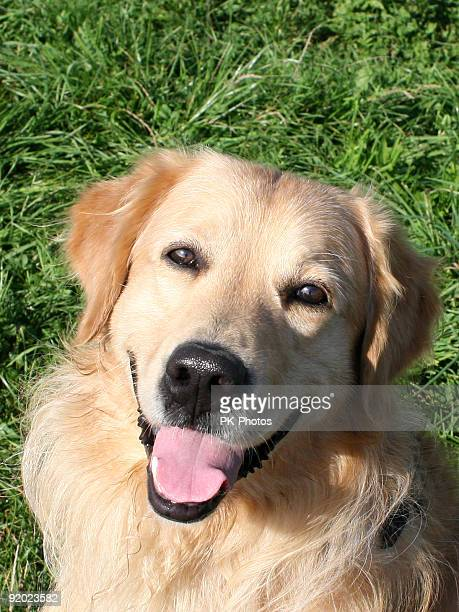 Retrato feliz Golden Retriever