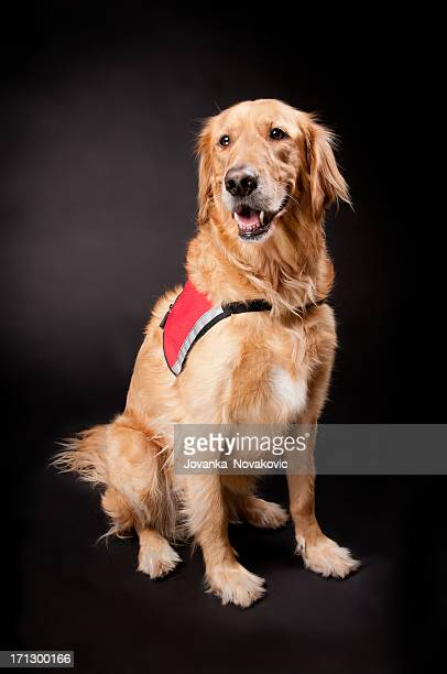 Happy Golden Retriever Rescue Dog