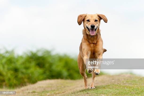 Happy light brown dog filled with joy running around outside