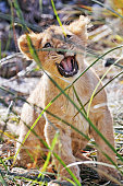 Happy lion cub in the grasses