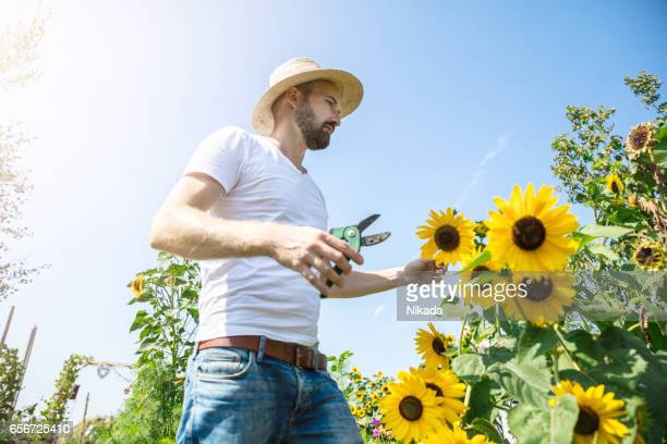 Happy man wearing sun hat and cuts sunflower