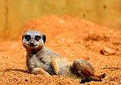 happy meerkat posing on sand cute funny