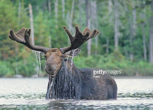 Happy Moose