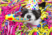 poodle dog having a party with serpentine streamers, for birthday or new years eve and blowing a whistle horn wearing  a hat