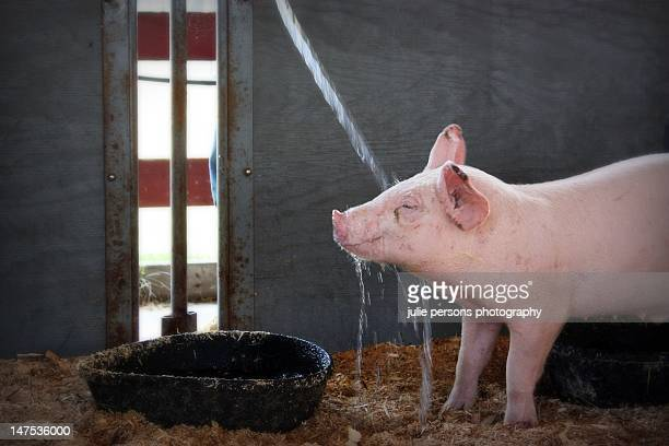 Happy pig getting sprayed with water