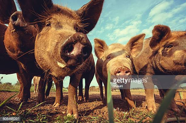 Feliz Piggies